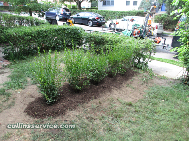 Cullins Service will let the bushes establish and grow some before trimming them