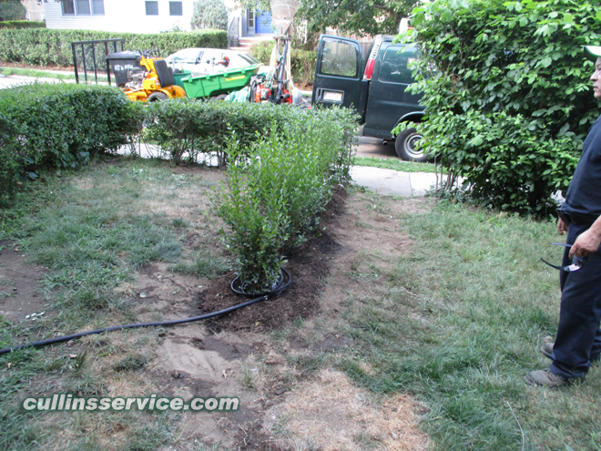 Bush Removal and Bush Planting Nantucket Privet in Brookline, Ma is complete