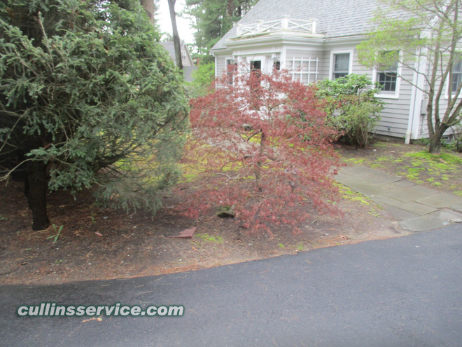 The Japanese Maple bed needs cleaning and mulch