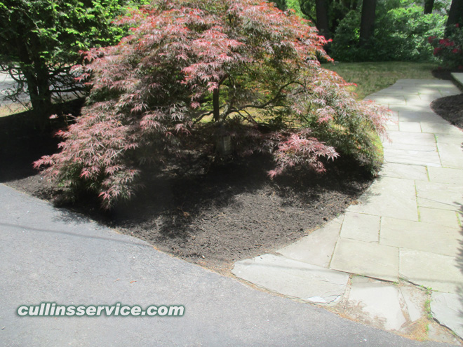 The black mulch under this red Japanese maple looks great