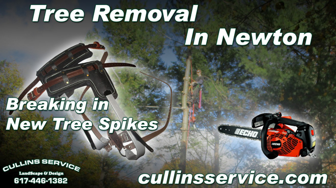 Tree Removal in Newton, Ma with Tree Spikes Cullins Service